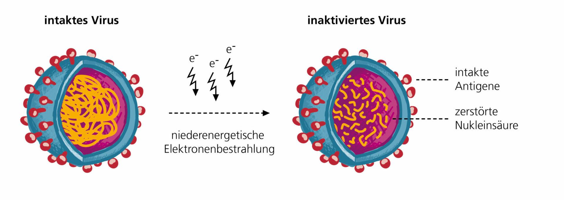 Grafik: Elektronenbestrahlung von Viren